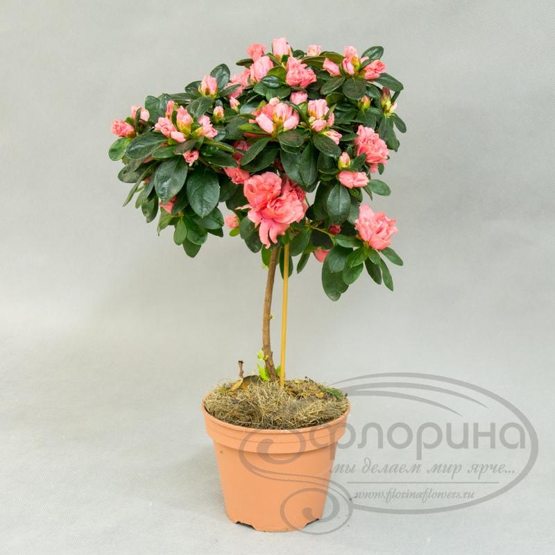 Цветы азалия купить в екатеринбурге цветы розы купить