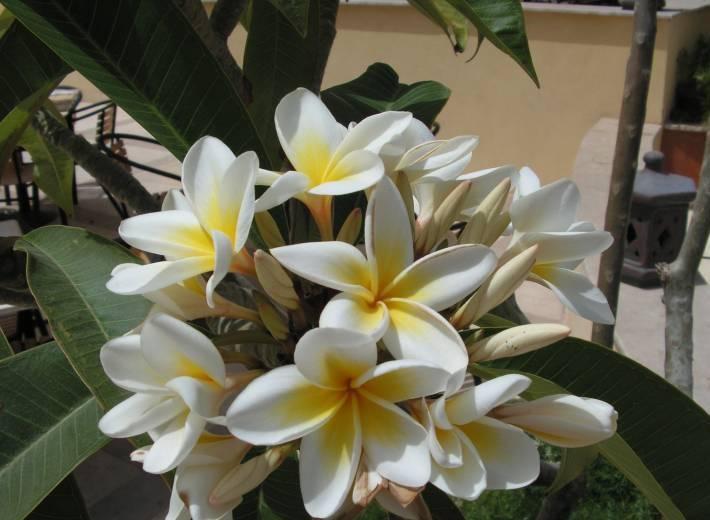 Как цветет фикус в домашних условиях 850