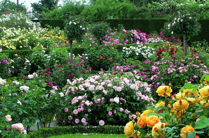 С чем сажать розы остина 85